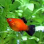 How to Tell if my Platyfish Is Pregnant?