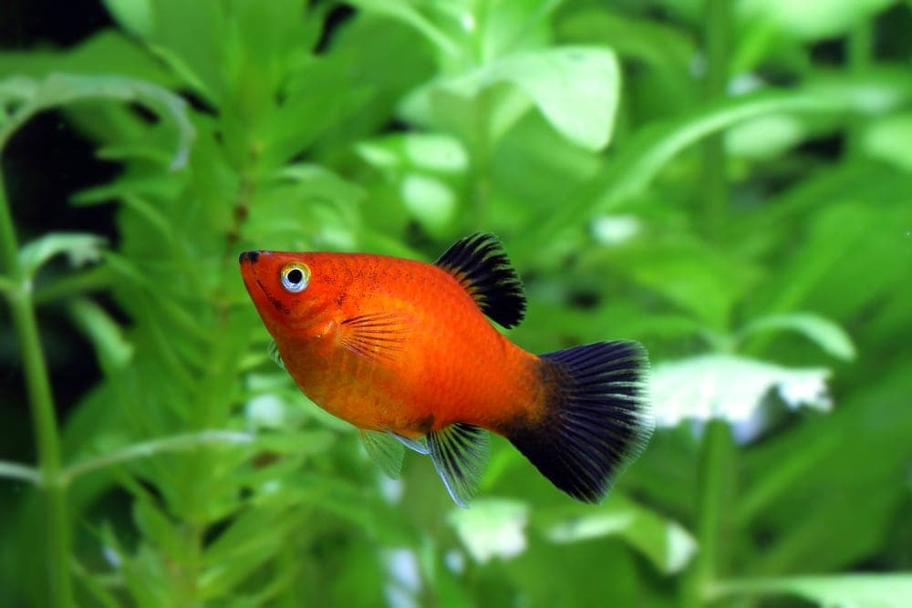 How to Tell if my Platy Fish is Pregnant