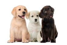 How to Check if a Labrador Is Purebred?