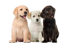 How to check if a Labrador is purebred