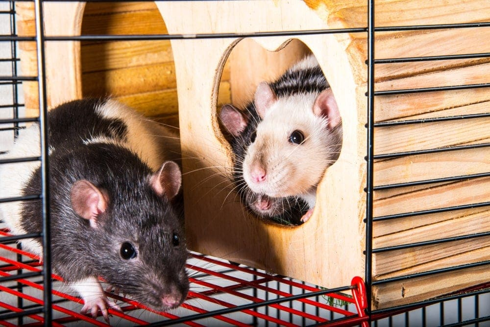 How to keep your pet rat cage from smelling
