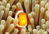 How to Know if my Clownfish is Pregnant?