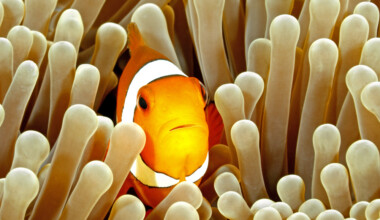 How to know if my clownfish is pregnant