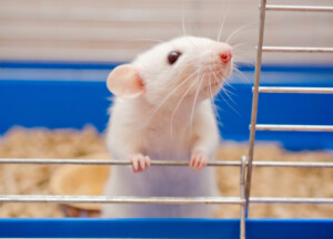How to Litter Train Your Pet Rat