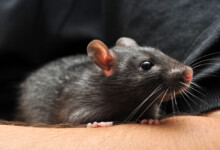 How to Take Care of Pet Rats —Beginners Guide