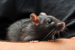 How to take care of Pet rats Beginners guide