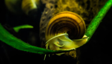 How to tell if a Mystery Snail is Dead or Alive