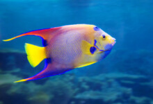 How to Tell if my Angelfish Is Pregnant