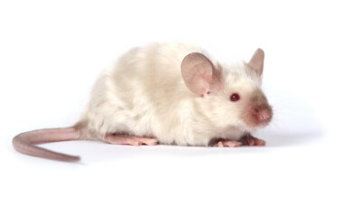 Long haired mouse Information Facts