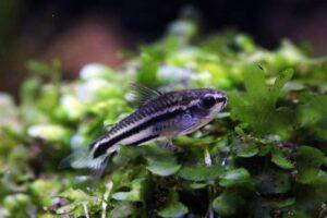 Pygmy Cory in a grass e1591443013215