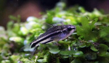 Pygmy Cory in a grass e1591443013215