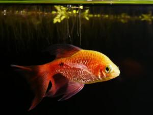 Rosy Barb black background e1591442043917