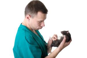 Should I Neuter my male pet rat