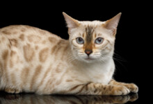 Snow Bengal Cat Care Guide & Info