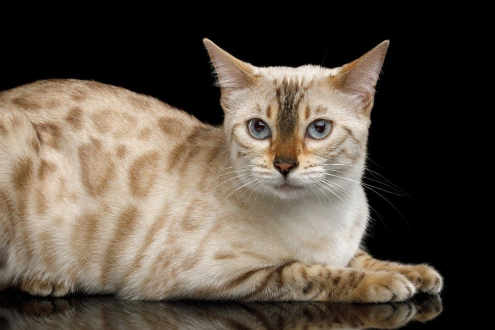 Snow Bengal Cat Care Guide Information