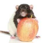 The Best Foods to Give Your Pet Rat
