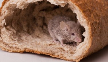 The Best Foods to give your pet mice