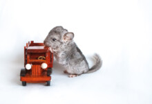 What Do Chinchillas Like to Play With?