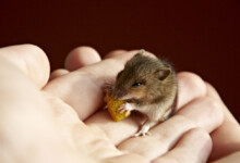 What Do Pet Mice Eat?