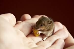 What do pet mouse eat