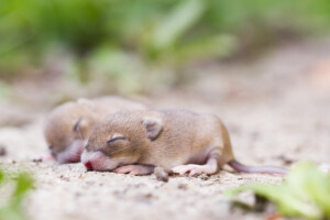 When do baby mice open their eyes