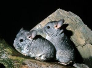 Where do chinchillas come from