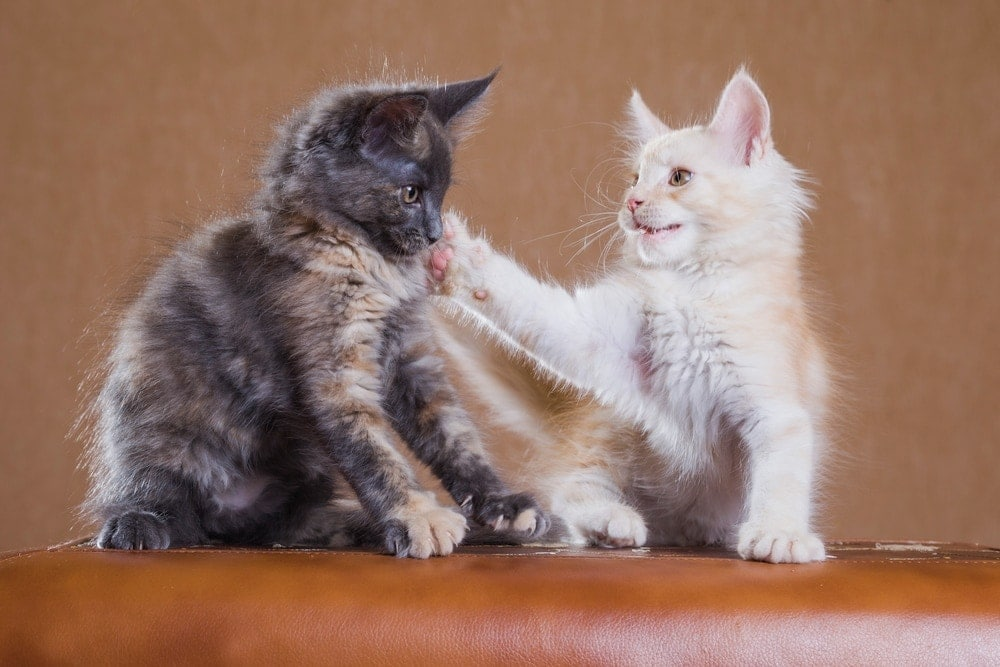 Why do cats slap each other