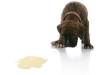 Why Does My Dog Lick Its Pee?