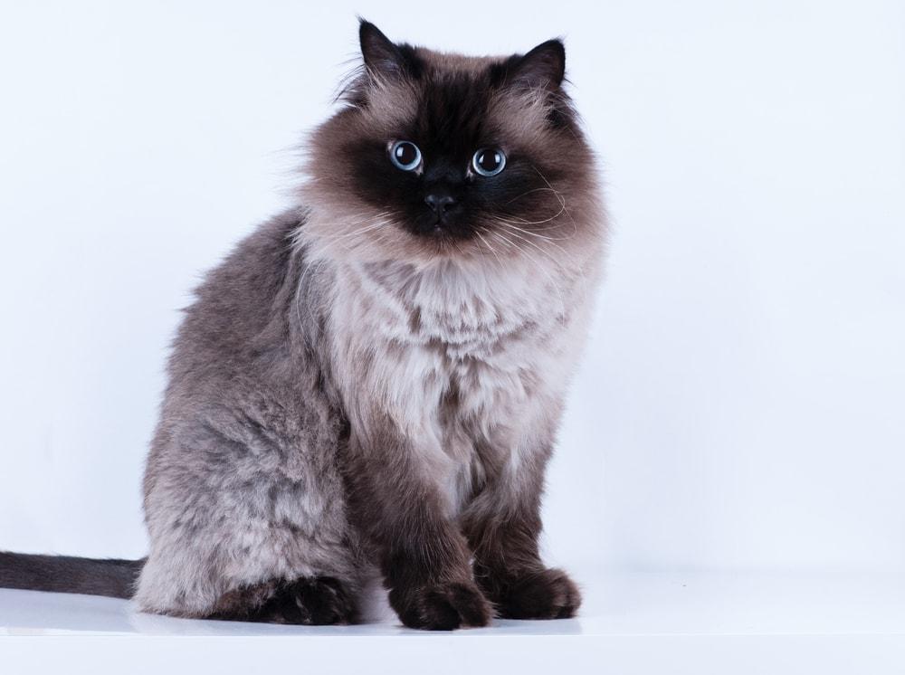 adult himalayan cat