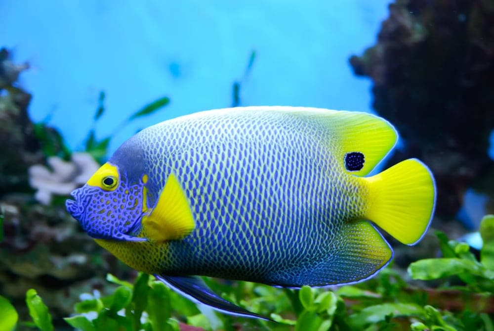 angelfish pregnant