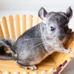 Why Do Chinchillas Bark? - Common Chinchillas Sounds