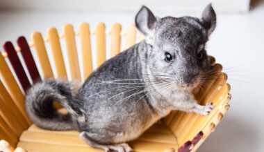 angry chinchilla