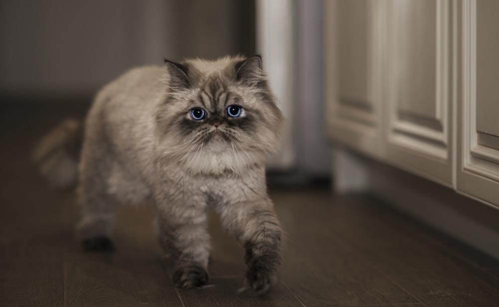 angry him alayan cat