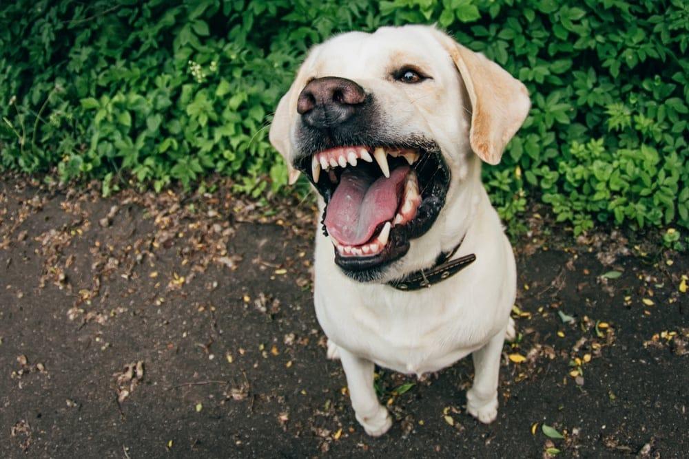 angry labrador