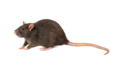 average pet rat size
