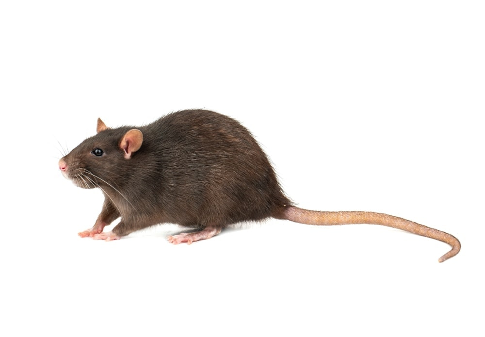What is the Average Pet Rat Size?