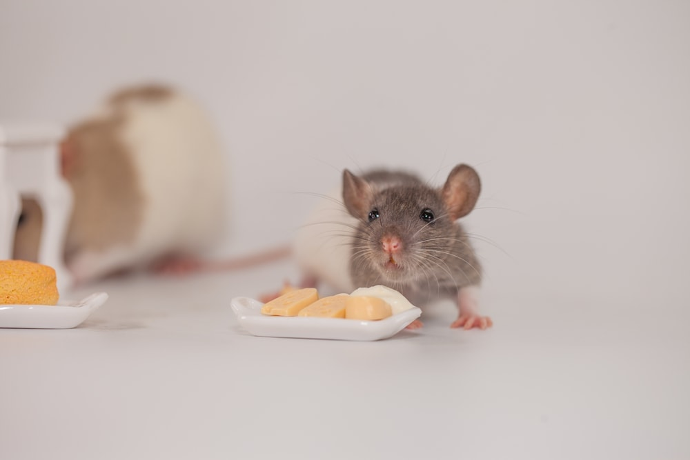 baby rat and cheese