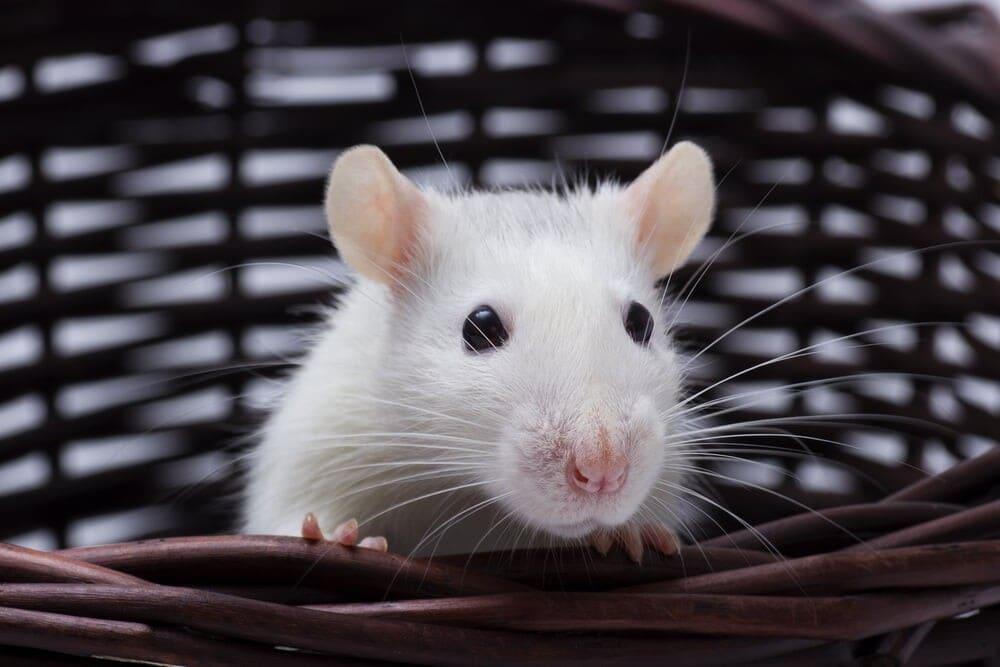 baby white rat e1591971082894