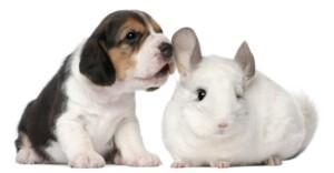 beagle and chinchilla e1591970772185