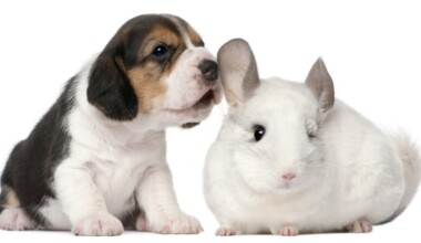 beagle and chinchilla e1591970772185