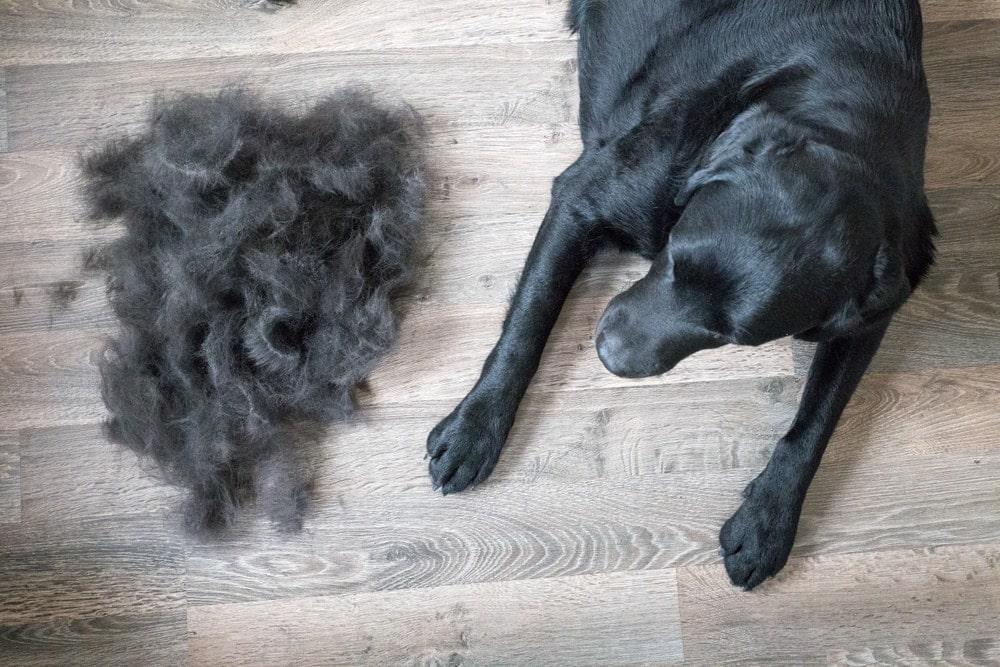 black labrador shedding