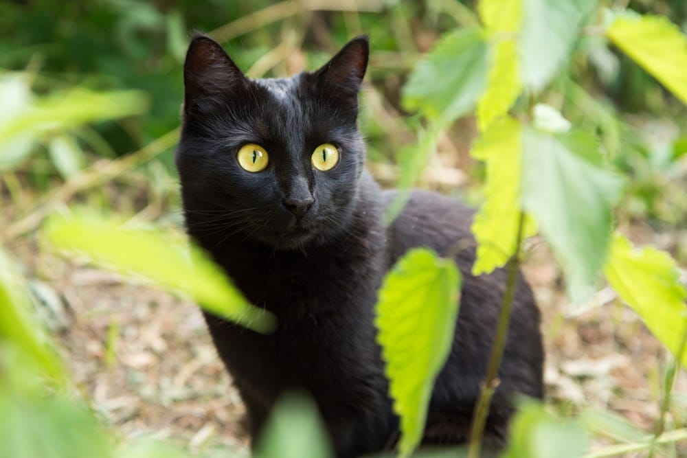 bombay cat in the garden
