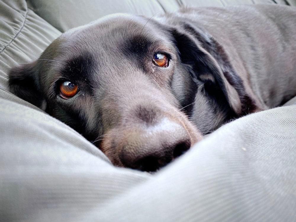 calm labrador resting