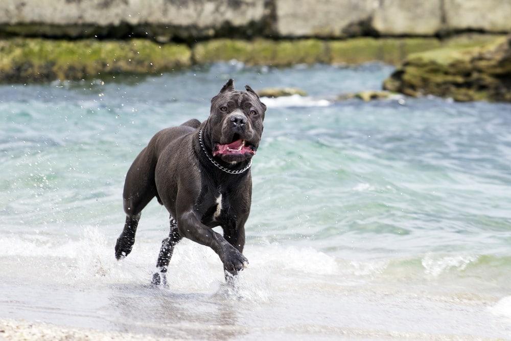 cane corso in a river