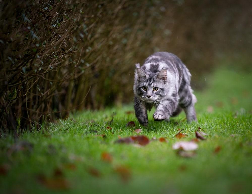 cat runnung in a garden