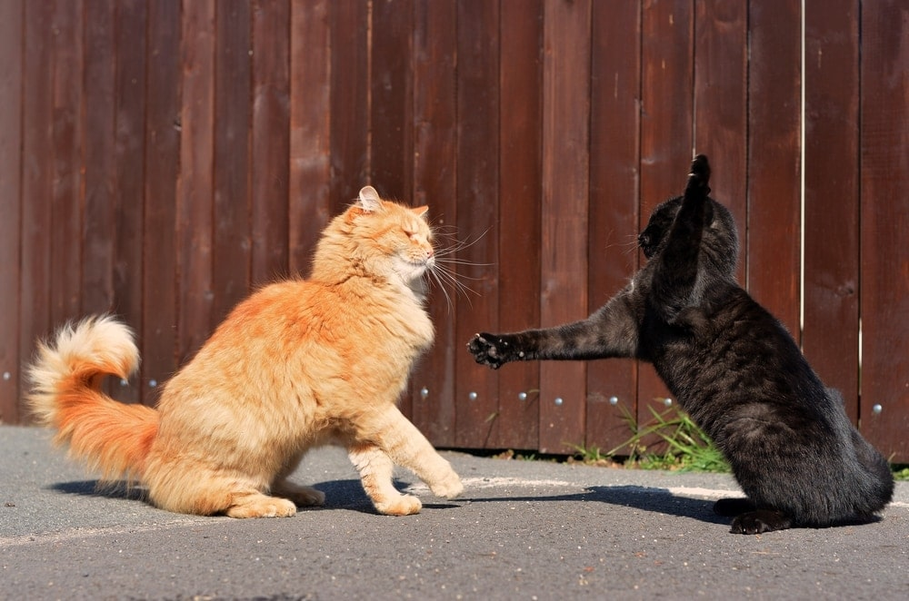 cat slapping another cat