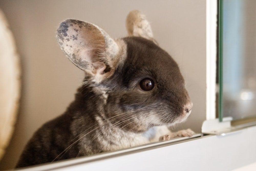 chicnchilla looking in a window