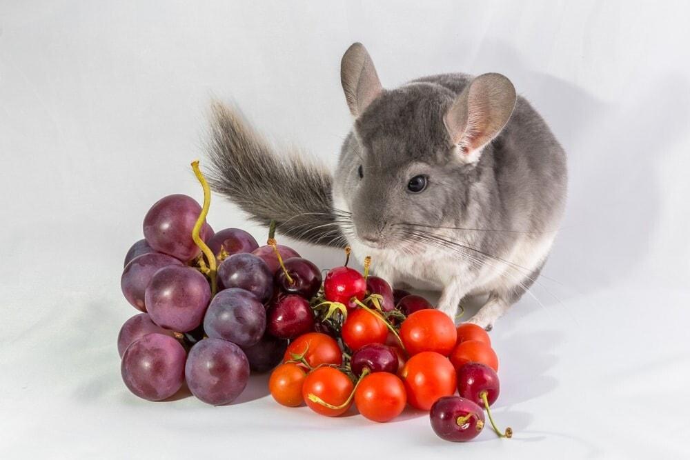 chinchilla and grapes e1591970316457