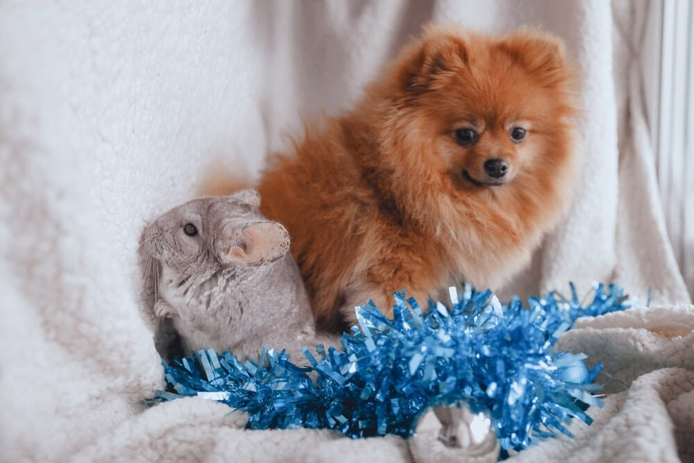 chinchilla and pomeranian e1591970799558