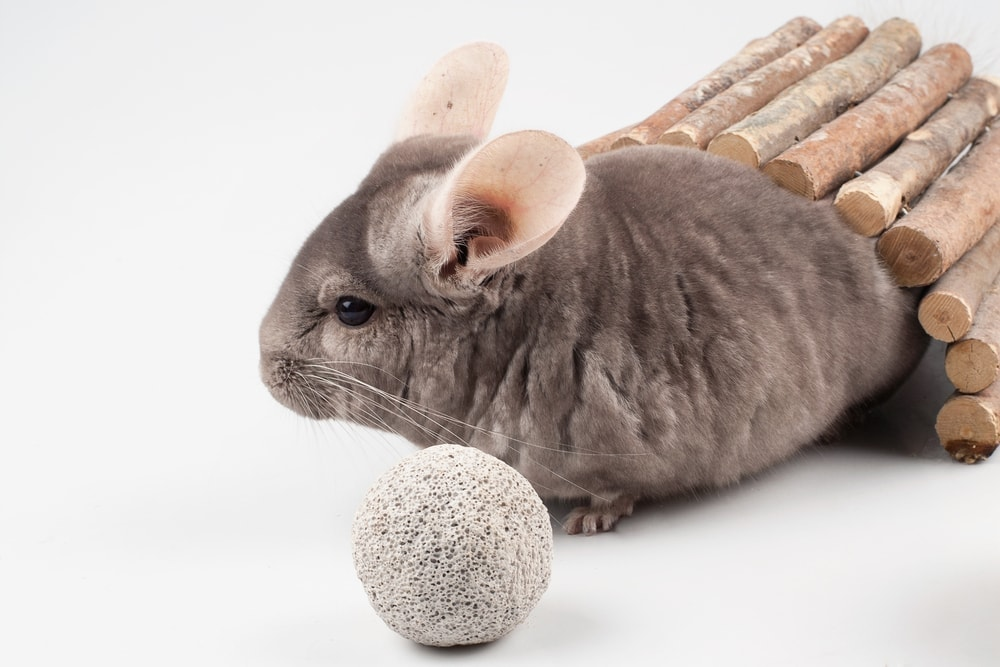 chinchilla and toys